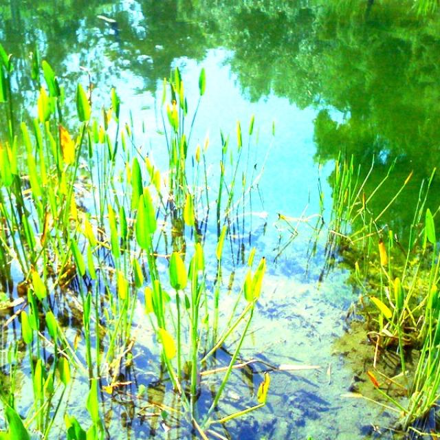 reflective pool, upside down reflection, bob tails, marsh, pond