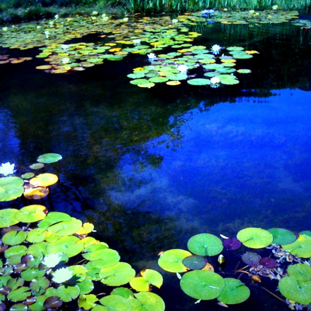 monet pond, lily pads, norton simon museum